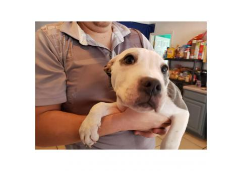 3 month old Pitbull/American Terrier $250