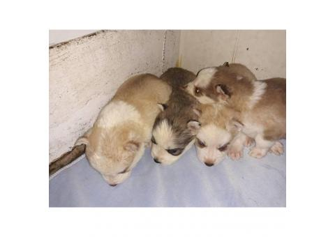 Siberian husky puppies local pick ups only