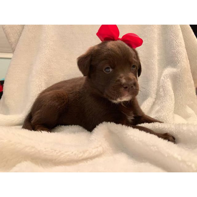 Female And Male Chocolate Lab Puppies For Sale In Johnson