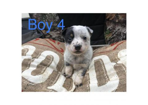 Blue heeler puppies perfect gift for valentine's day