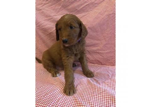One gorgeous F1 standard goldendoodle puppy