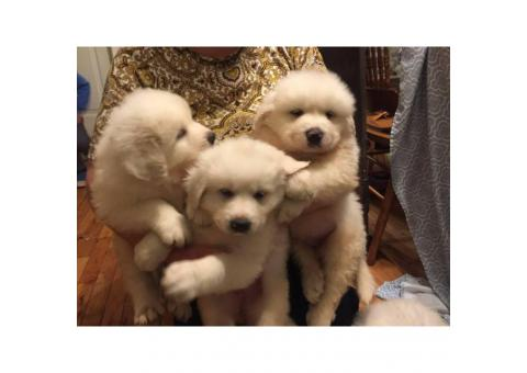 10 Great Pyrenees puppies ready to rehome