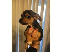 10 weeks female Chihuahua Puppy
