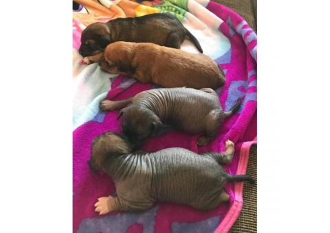 4 Xoloitzcuintli hairless puppies looking for a forever home