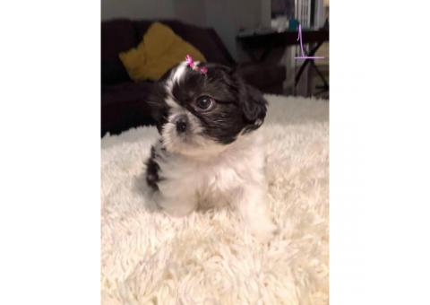 5 beautiful Shih tzu puppies for sale