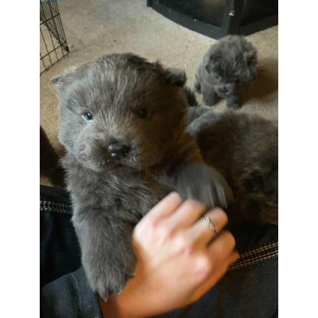 5 blue Chow Chow puppies in Pittsburgh, Pennsylvania ...