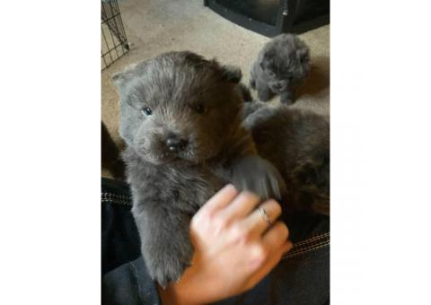 5 blue Chow Chow puppies