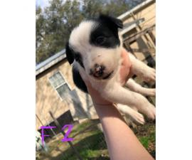 6 week old border collies for sale Full blooded