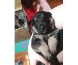 3 cute german Shepherd puppies for sale