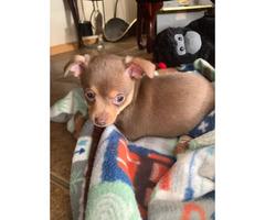 Beautiful chocolate male Chihuahua pupp