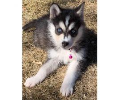 2 Females Huskies both with blue eyes