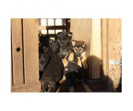 Easily trained German Shepard Puppies to a good home