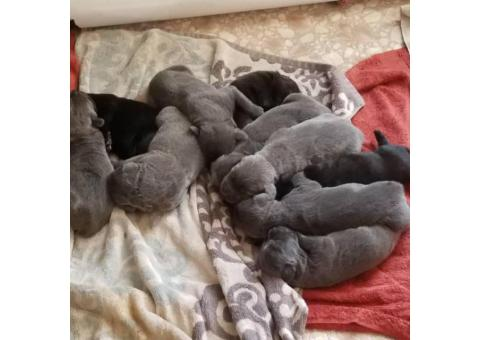 Beautiful and cuddly cane corso puppies