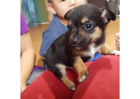 2 month old chihuahua puppies looking for forever homes