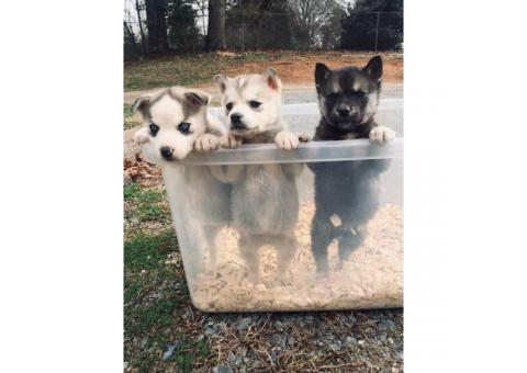 Sweet husky puppies ready for their new homes