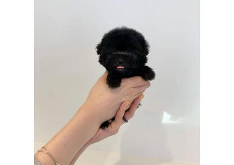 One Male toy poodle puppy