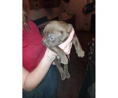 5 beautiful pitbull puppies left