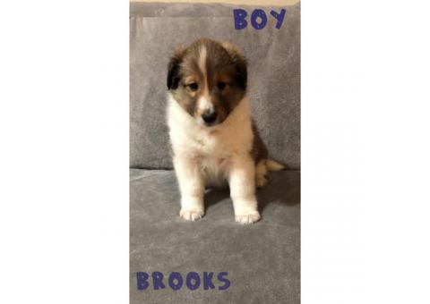 3 mahogany sable purebred male shetland sheepdogs available