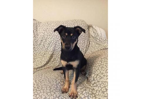 7 months old Miniature Pinscher Puppies