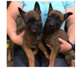 Belgian Malinois pups are ready to go