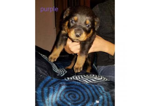 2 months old Rottweiler puppies available for rehoming