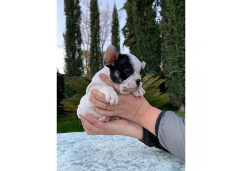 2 males and 1 female French bulldog puppies available