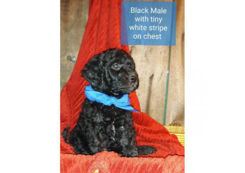 Goldendoodle Pups Rehoming fees 800 - 1000