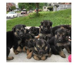 German Shepherd Puppies for FREE