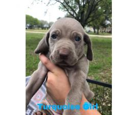 CKC registered Weimaraner Puppies Looking for forever homes