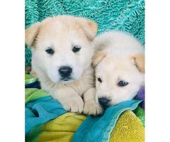 Golden husky mix puppies