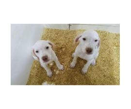2 english pointer puppies left