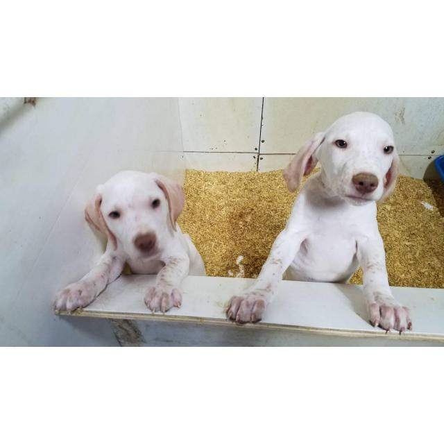 2 English Pointer Puppies Left In Battle Creek Iowa Puppies For Sale Near Me
