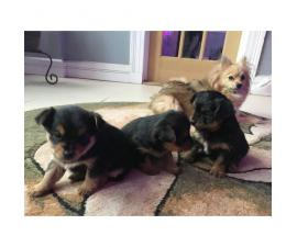 3 puppies 2 boys and 1 girl