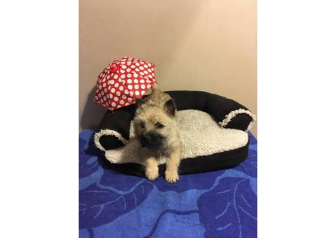 Two charming  9 week old cairn terrier puppies