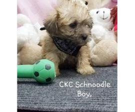 8 week old CKC registered male Schnoodle puppy