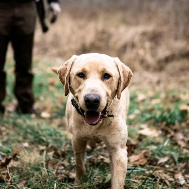 AKC registered yellow lab puppies For Sale In South Dakota USA