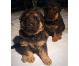 2 gorgeous female German Shepherd pups available