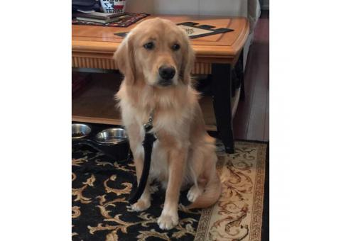 Loving Golden For Sale to a Loving Home and Family
