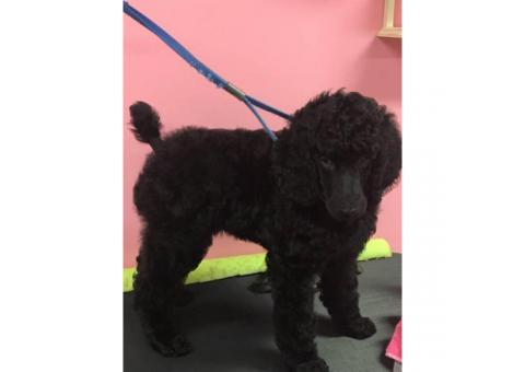 2 Female AKC Registered Standard Poodle puppies