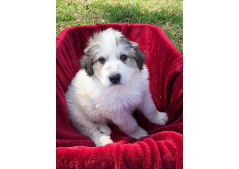 Female and male Great Pyrenees pups