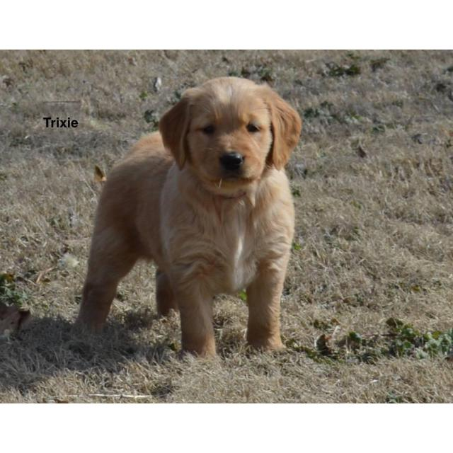 Akc registered golden retriever puppies available for $850