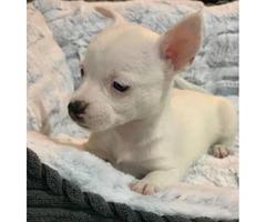 2 tiny pure breed Chihuahua puppies