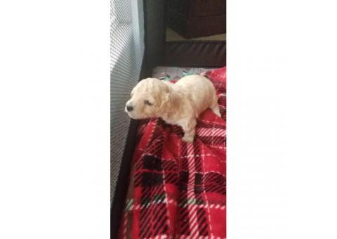 3 ckc registered male toy poodle puppies