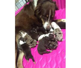 Beautiful and healthy litter of 8 chubby Australian Shepherd Puppies