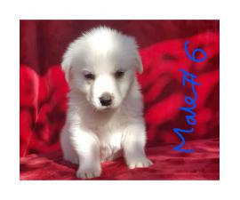 Pyrenees Husky Mix Puppies
