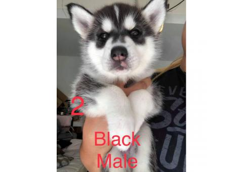 6 husky puppies for adoption