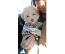 12 week old cream and light apricot female pure bred toy poodle