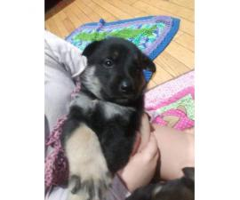 2 german shepherd puppies out of a litter of 5