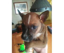 Heeler german shepherd mix puppies for sale