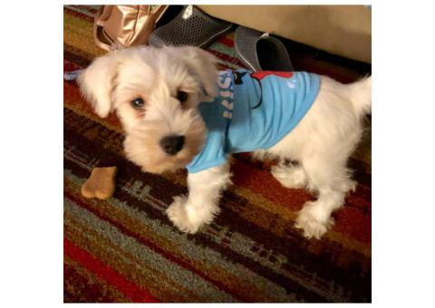 Rare White Mini Schnauzer puppy $950